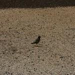 Maui bird
