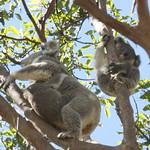 A koala and her two joeys