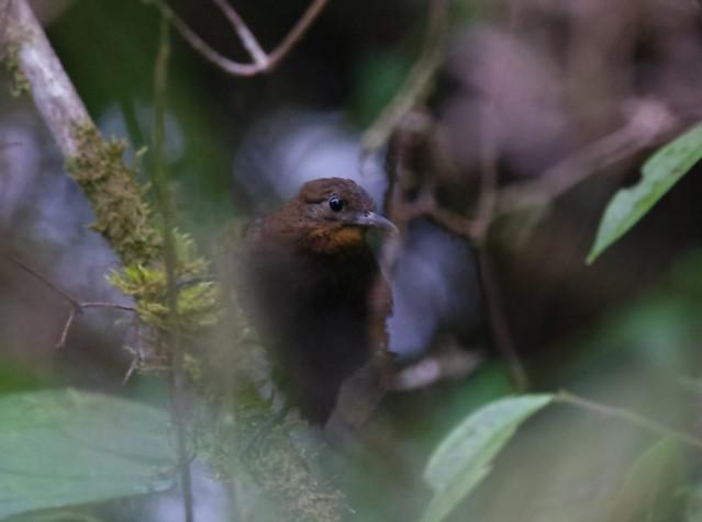 Tawny-throated Leaftosser, Montezuma road, Colombia
