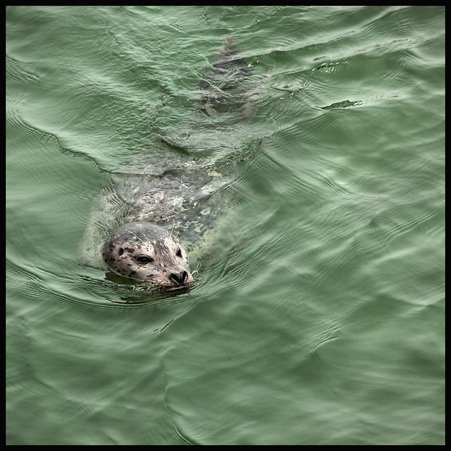Seal; Port Orford #3