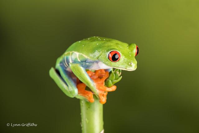 Red Eye Tree Frog - where next? D75_2758.jpg