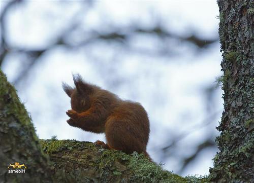 copyright scotland angus earlymorning full redsquirrel lochofthelowes stoneofscone amomentalone sarniebill1 nearperthshire rubbingoftheeyes nigelwedge