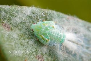 Planthopper nymph (Flatidae) - DSC_6578