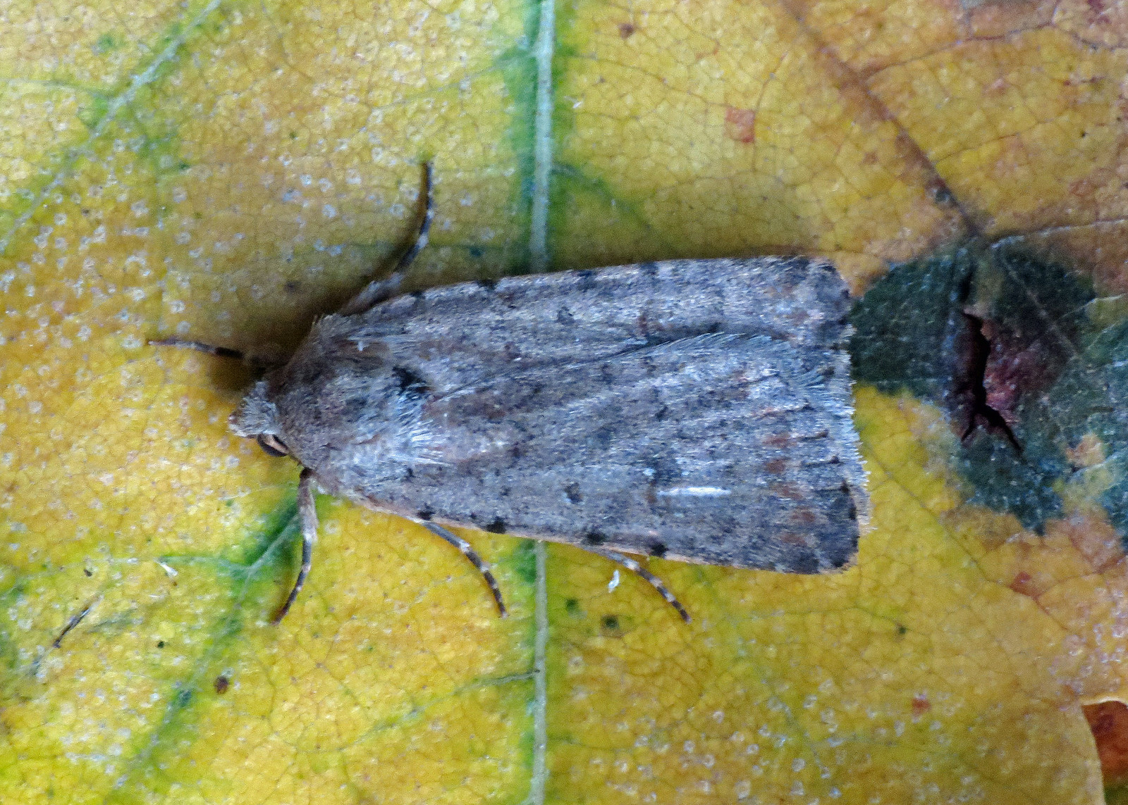 2389 Pale Mottled Willow - Paradrina clavipalpis