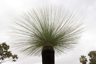 Black Boy (Xanthorrhoea) in Kings Park, Perth, WA | by nodeworx
