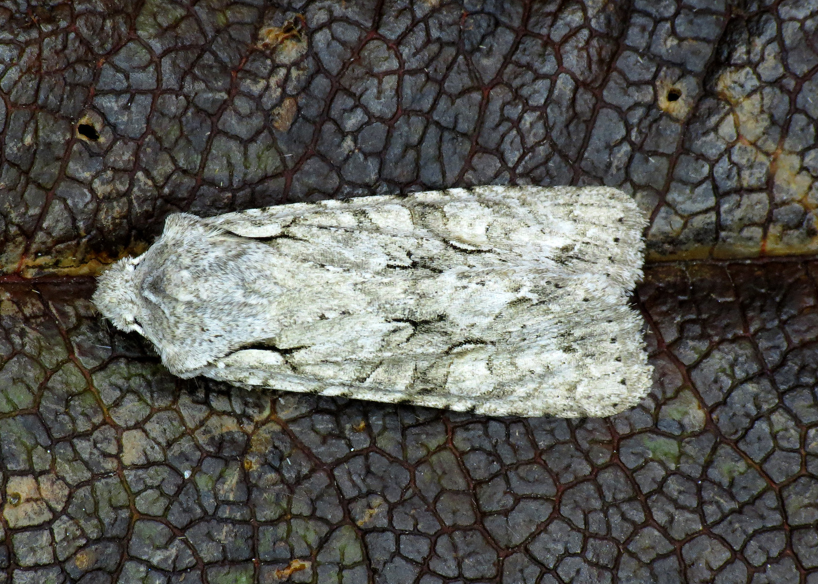 2237 Grey Shoulder-knot - Lithophane ornitopus