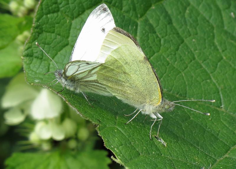 Green-veined White - Pieris napi and Large White - Pieris brassicae
