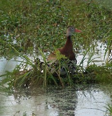 Black-bellied Whistling-Duck. Phinizy Swamp Nature Park, Richmond County, 5 September 2010. Photo by Charlie Ferguson