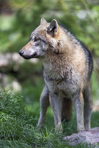 Wolf besides the prey | by Tambako the Jaguar