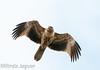 Whistling Kite, Haliastur sphenurus, WTP , Point Wilson - VIC , Sep 2010 by OM-Digital