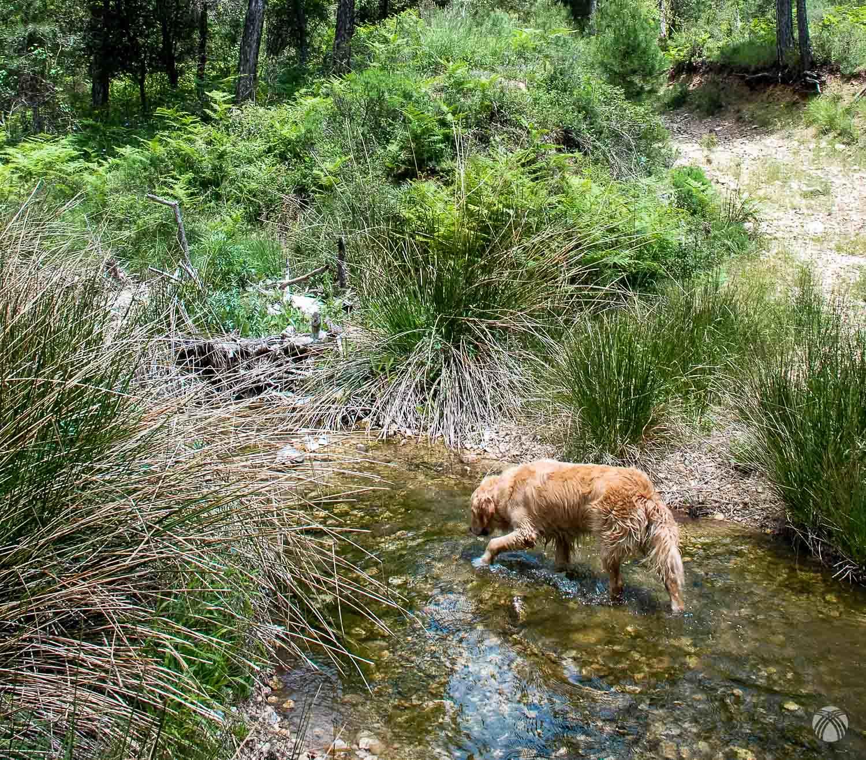 Bebiendo agua en el arroyo de Peñalcón