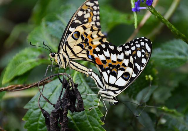 Citrus Swallowtail Butterflies (Papilio demoleus)