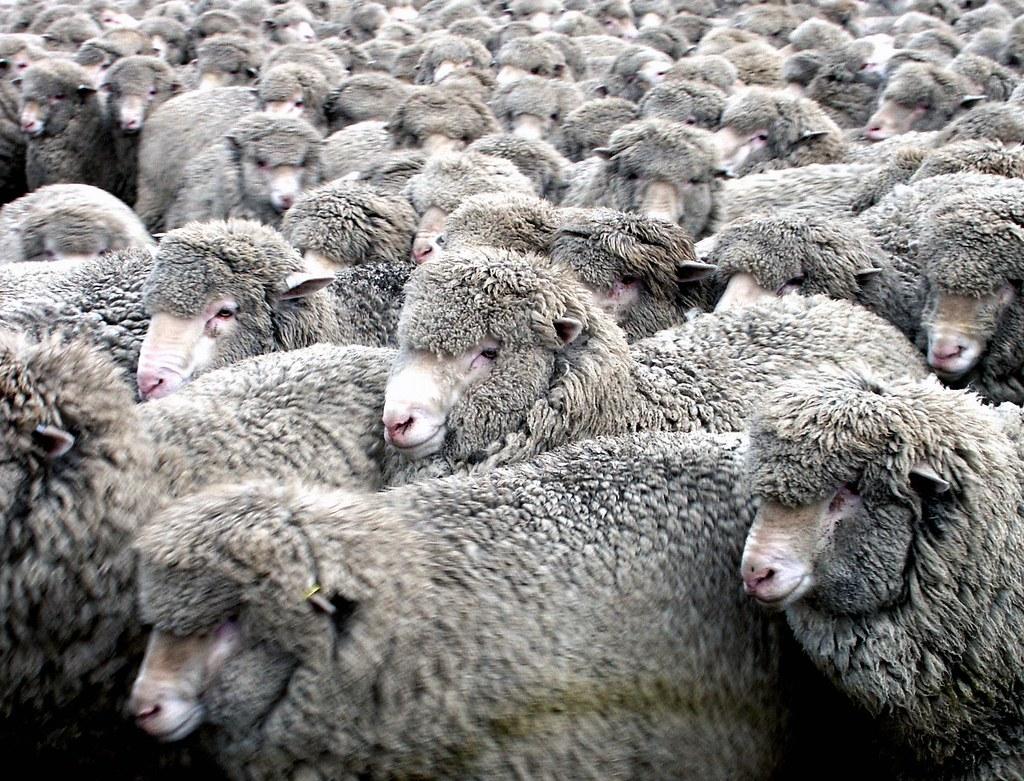 Merino ewes.