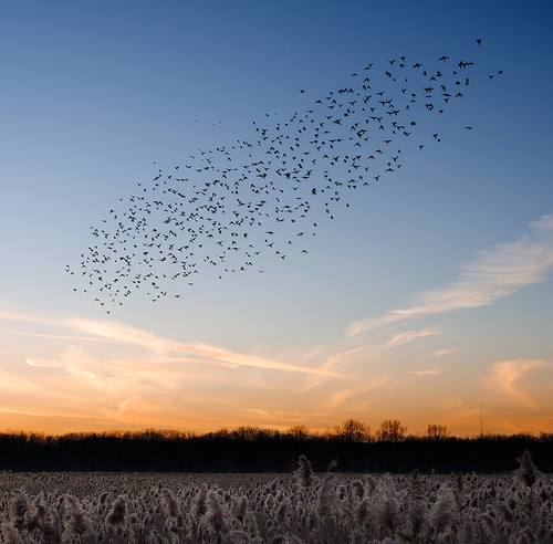 blue sunset sky orange birds horizon starlings