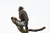 Wahlberg's Eagle, Sakania, DRC by Terathopius