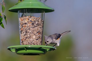 Tufted Titmouse - Backyard Birds | by Flickrtographer