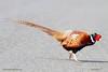 Ring-necked Pheasant by Ralph Hocken