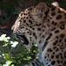 Greenville Zoo 05-24-2011 - Amur Leopard 8