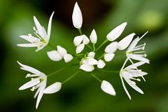 Ramsons - Allium ursinum
