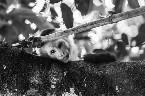 white-throated capuchin | by Daroüms