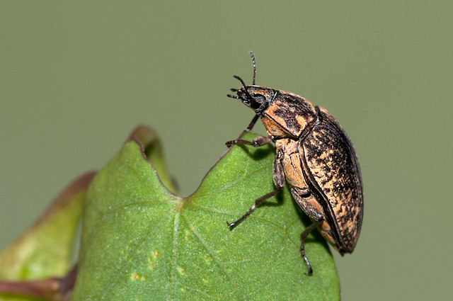 Epitragus aurulentus (Kirsch, 1866)