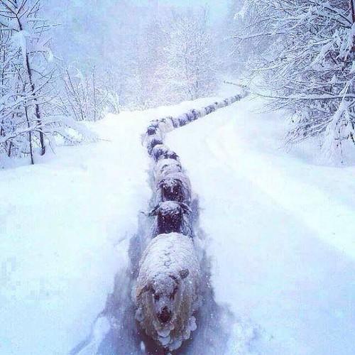 Owce | by cauliflowerpl