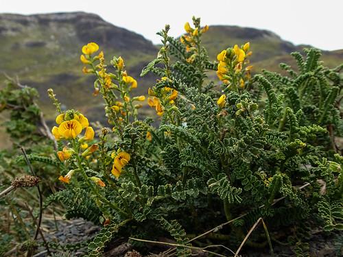 Paramela (Adesmia boronioides) - Torres del Paine National Park, Patagonia, Chile   by anschieber   niadahoam.de