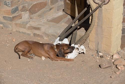 africa dog nature 2016 animal canid namibia canislupusfamiliaris hund windhoek otjozondjupa