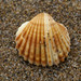 Rough Cockle - Photo (c) Hans Hillewaert, some rights reserved (CC BY-NC-ND)