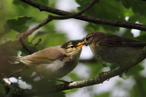 Willow Warbler chick being fed, Baildon Moor | by Paul Marfell