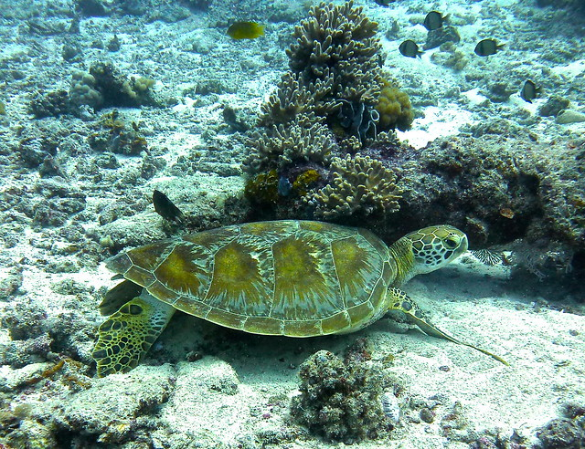 Green turtle resting