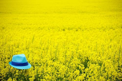 blue field hat spring sweden fav20 skåne torup rapeseed fav10