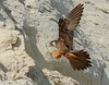 Eleonora's Falcon by Cyprus Bird Watching Tours - BIRD is the WORD