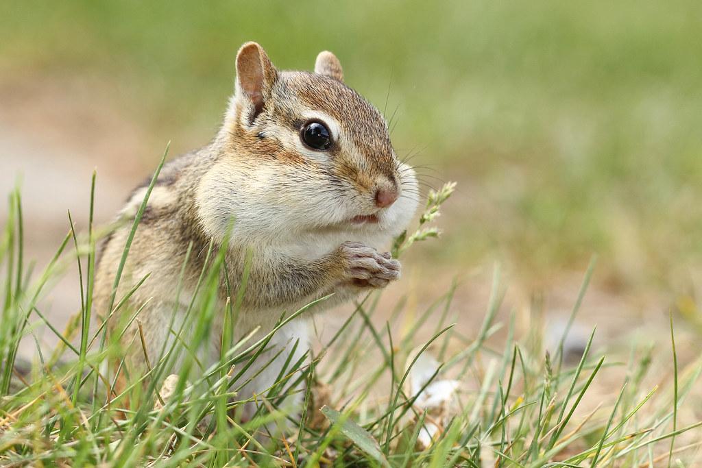 Chipmunk with stuffed cheeks
