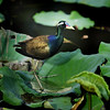 นกพริก  Bronze-winged Jacana by somchai@2008