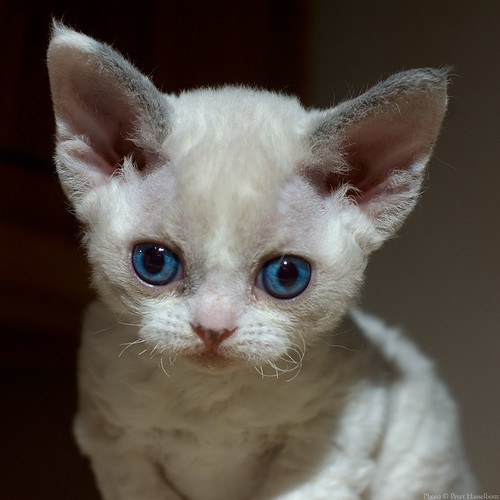 Devon Rex Kitten | by peter_hasselbom