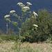 Flickr photo 'Conium maculatum LV8710-D229-2000' by: Sarah Gregg Petriccione.