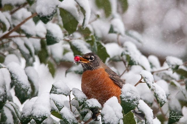 Robin Snow Holly Berry