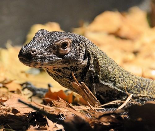 texas reptile brownsville komododragon coldblooded gladysporterzoo varanuskomodensis nikond7000 nikkor18to200mmvrlens