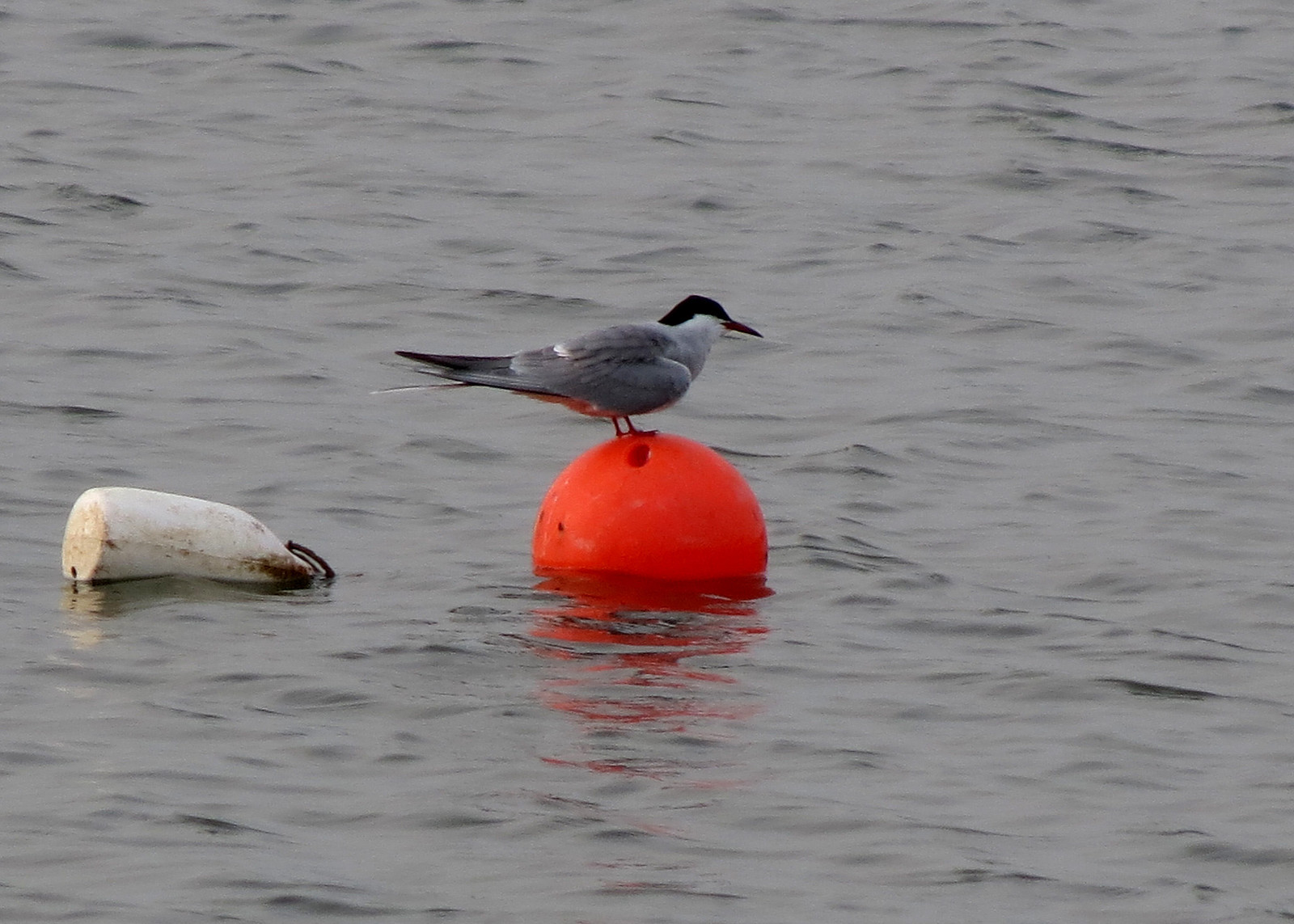 Arctic Tern - Sterna paradisaea