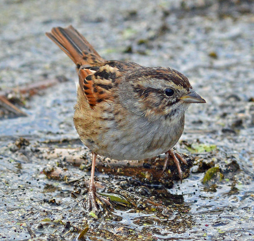 Swamp Sparrow | by D P Murphy