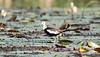 Pheasant-tailed Jacana by Thomas.Gut