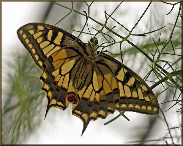 Underside Old World Swallowtail