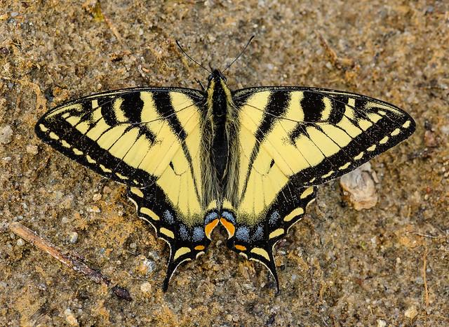 Canadian Tiger Swallowtail (Papilionidae, Papilioninae, Papilionini) 112n-2816