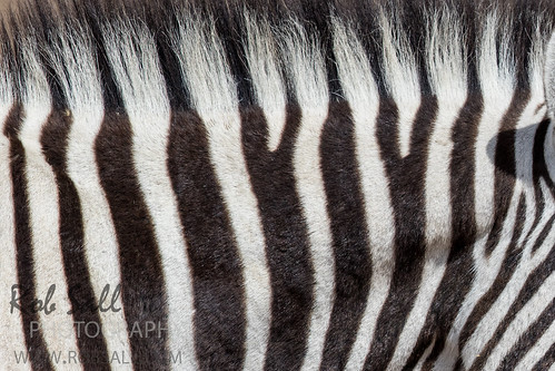 africa vacation canon mammal 500mm namibia canoneos zebras 2015 kunene plainszebra commonzebra equusquagga canon500mmf4 boehmszebra 7dmarkii canon7d2 canon7dmarkii canon7dmark2 robsallphotography 7dm2 7dmark2 7dmii canoneos7dmark2 canon7dm2 canoneos7dm2 canon500mmf4lii canon500mmf4lisiiusm canon500mmf4ii zebraboehms