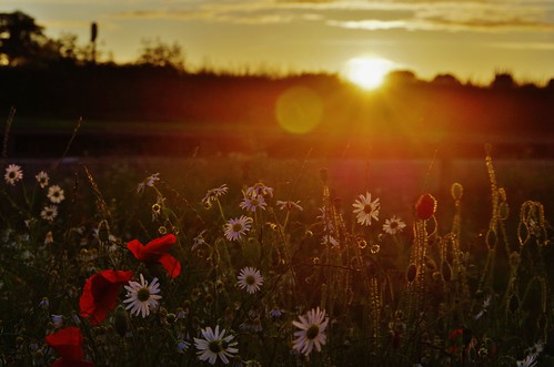 flowers light sunset sun clouds daisies evening trails poppy poppies pentaxart