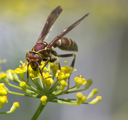 Paper wasp on yellow fennel plant  Cooperative extension learning garden | by watts_photos