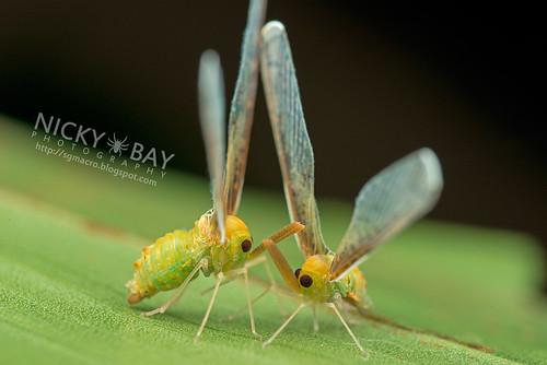 Derbid Planthopper (Derbidae) - DSC_5760 | by nickybay