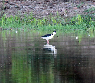 Black-necked Stilt (Himantopus mexicanus) | by Birding Mato Grosso