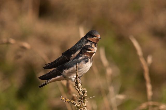 Juv Barn Swallows - Explored 28-08-13